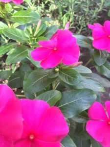 ショッキングピンクの夏花