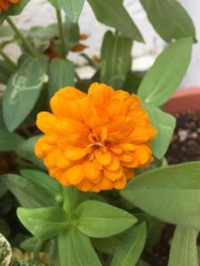 オレンジの八重花