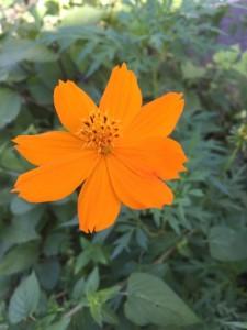 オレンジ色の夏花
