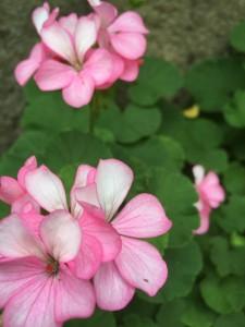 ピンクと白の併せ花
