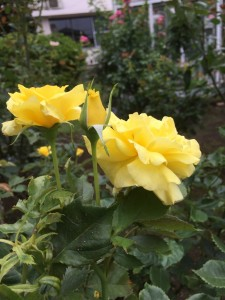 教会の黄色バラ